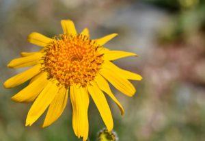 Gul blomst Arnica Montana