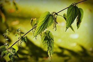 Brennesle plante