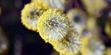 Plages du av Pollenallergi og Høysnue – Tiden er inne for Salix og Bjørk