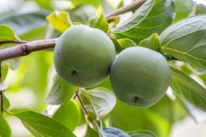 to grønne epler henger på treet